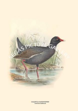 GALLINULA SANDVICENSIS - Common Gallinule